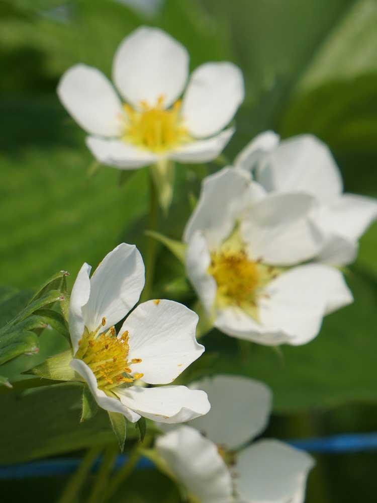 La fleur de fraise